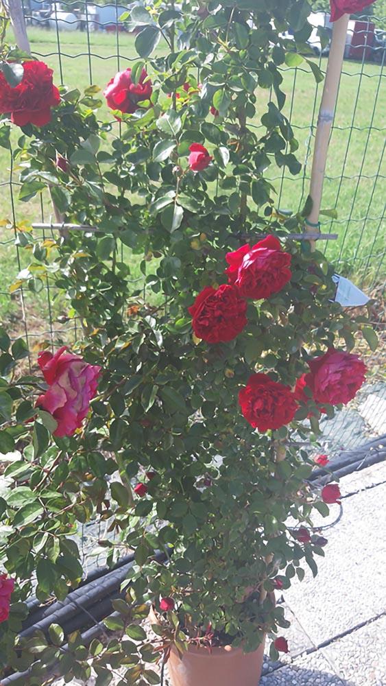 Rose - Naturalmente Piante e Fiori